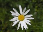 Flower Daisy (Bellis perennis)